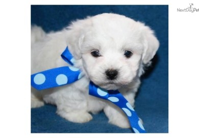 Bichon Frise For Sale Dogs Puppies For Sale Gumtree