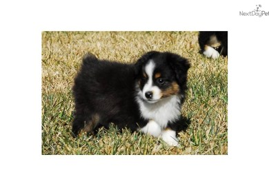 Australian Miniature Shepherd Prices