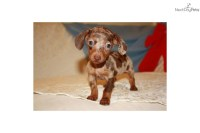 The gallery for --> Teacup Dachshund Puppy