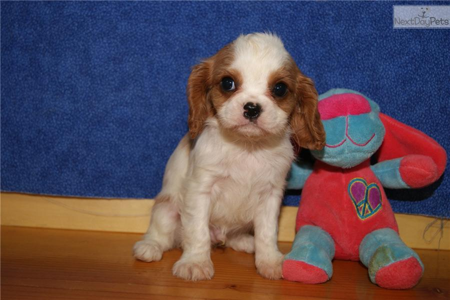 Cavalier Charles Prince Mix