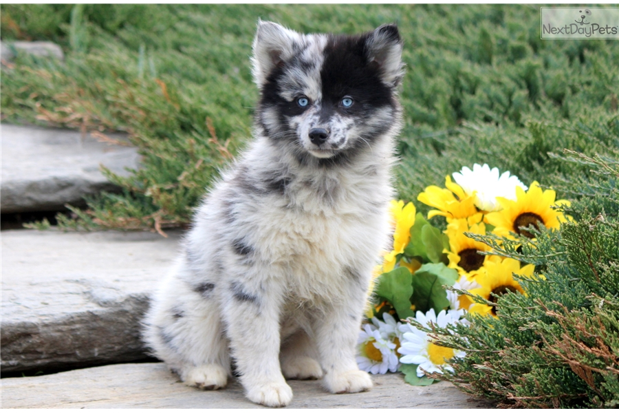 Sophie Pomsky puppy for sale near Lancaster Pennsylvania  effdc8546231