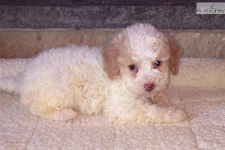 Meet Rose A Cute Lagotto Romagnolo Puppy For Sale For 2 200 Rose