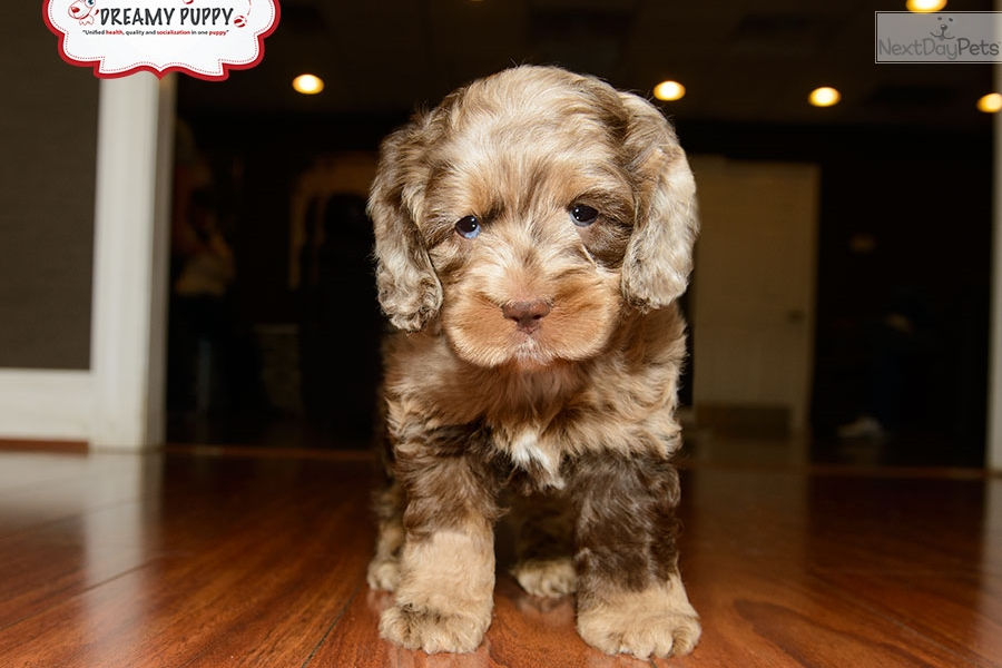 cockapoo puppies now available