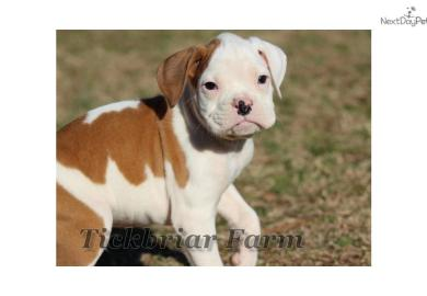 Boxer Puppies For Sale In South Carolina