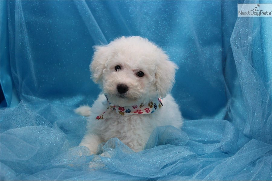 Bich-Poo - Bichpoo puppy for sale near Greensboro. North Carolina.   1d6fcfb1-9241