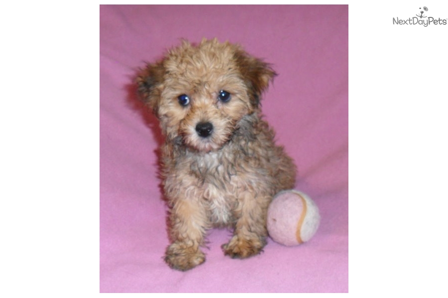 Yorkie Poo Puppies For Sale In Ohio Dogs For Sale Jewel