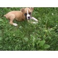 Boxer puppies and dogs for sale and adoption freedoglistings tattoo