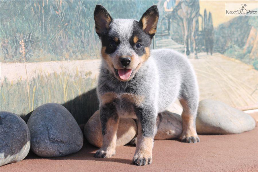 Texas Free Puppies Heeler Blue