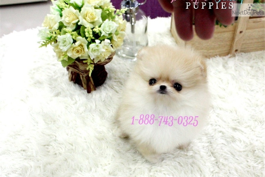 Teacup Pomeranian Houston Tx