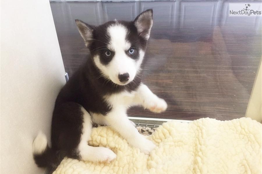mini husky mixed other