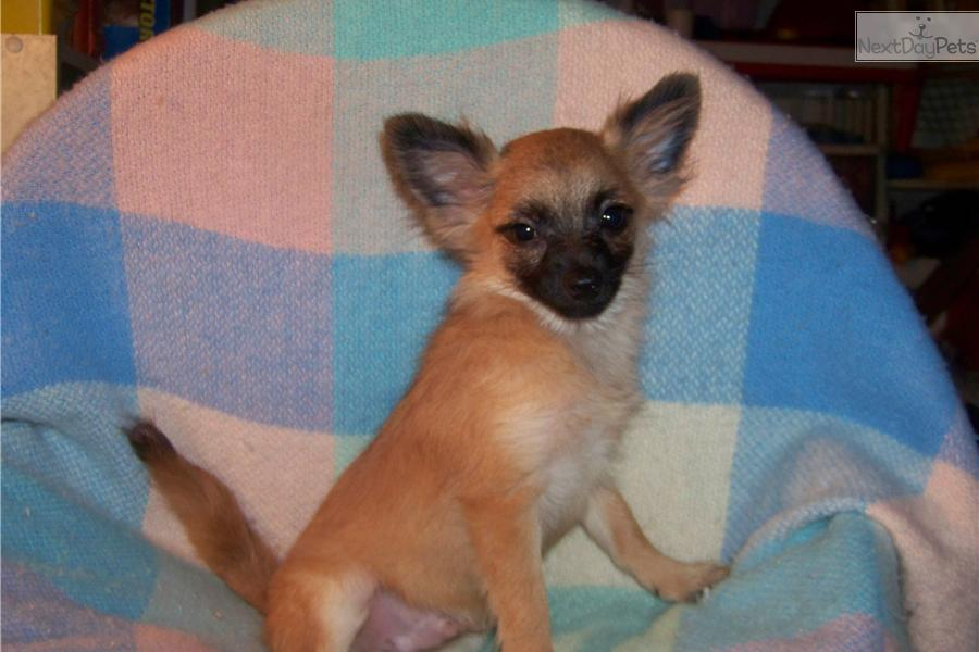 Meet Male a cute Pomchi puppy for sale for 350 Evan