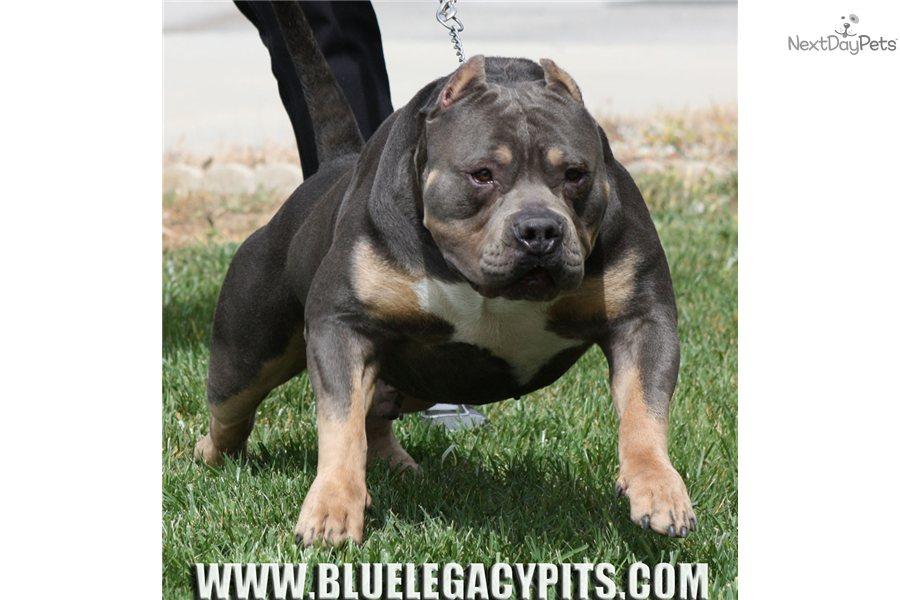 Puppies Me Sale Near Pit Bull