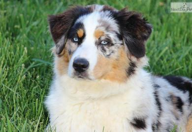 Blue And Merle Australian Shepherd Puppies For Sale
