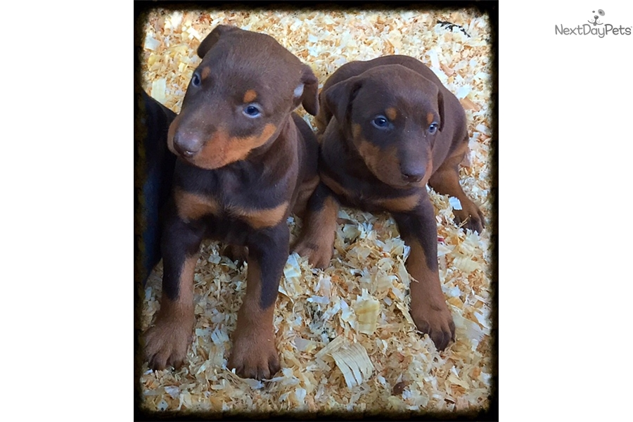 doberman pinscher puppies for sale los angeles