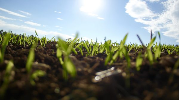 Green Shoots Of Grass