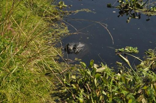 alligator_la chula (5)