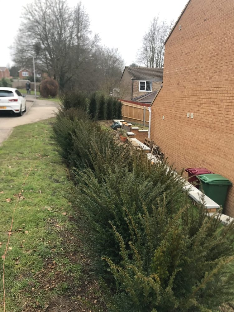 landscaping and yew hedge planting