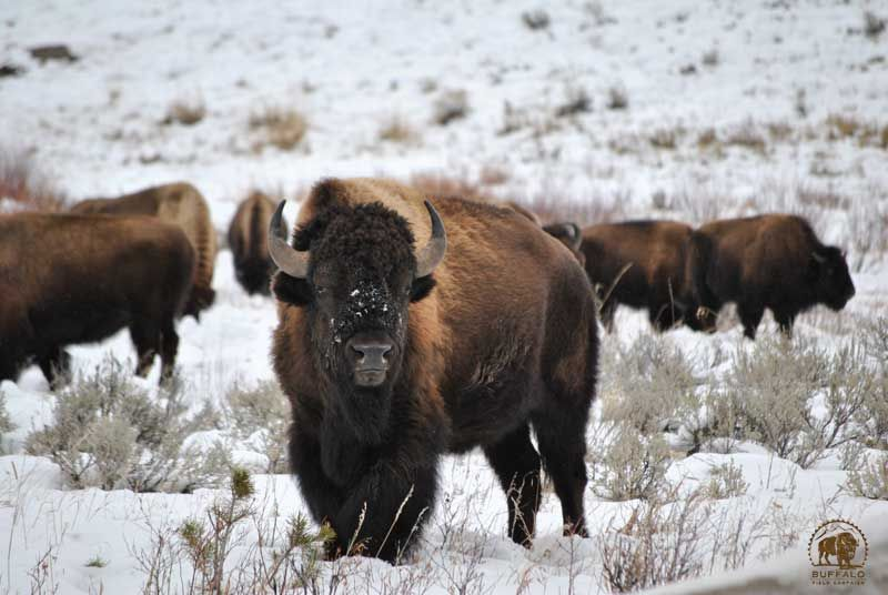 Central Yellowstone Bison Herd In Peril