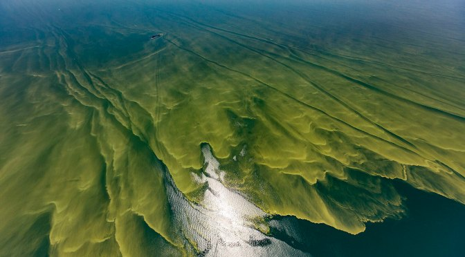 This aerial photograph shows harmful argae blooms in Lake Erie in August of 2017. These are believed to be caused by the effluent runoff from factory farms in the watershed of the lake.