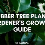Rubber Plant Ficus Elastica Complete Care And Growing Guide