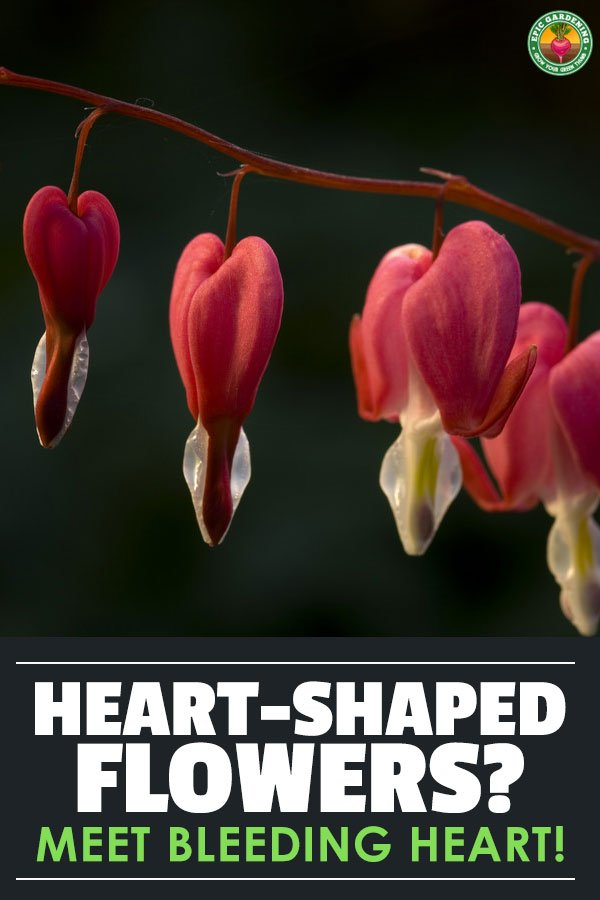 bleeding heart flower dicentra