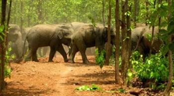 sherpur-elephant