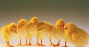 Problematika Penyakit Ayam Pedaging