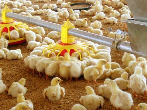 lantai kandang ayam modern