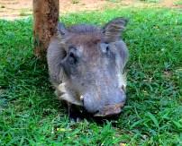 Hakuna Matata Pumba (The lawnmower outisde my tent)