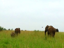 African elephants, the biggest of them all.