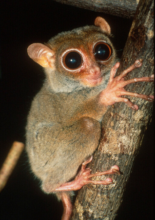David Haring Photography  Other prosimians tarsiers