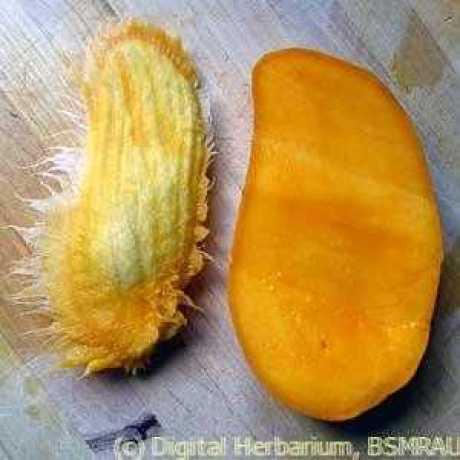 mango seeds 3