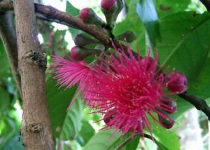 Flower of rose apple