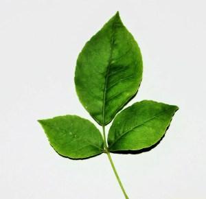 K1600_Bael leaf dorsal