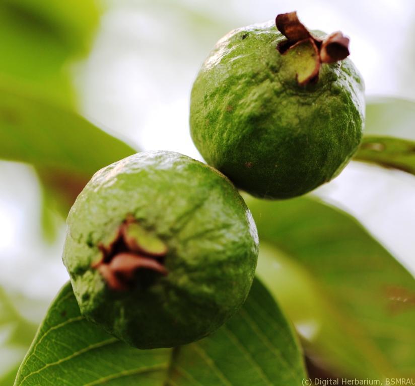 Guava – Digital Herbarium of Crop Plants