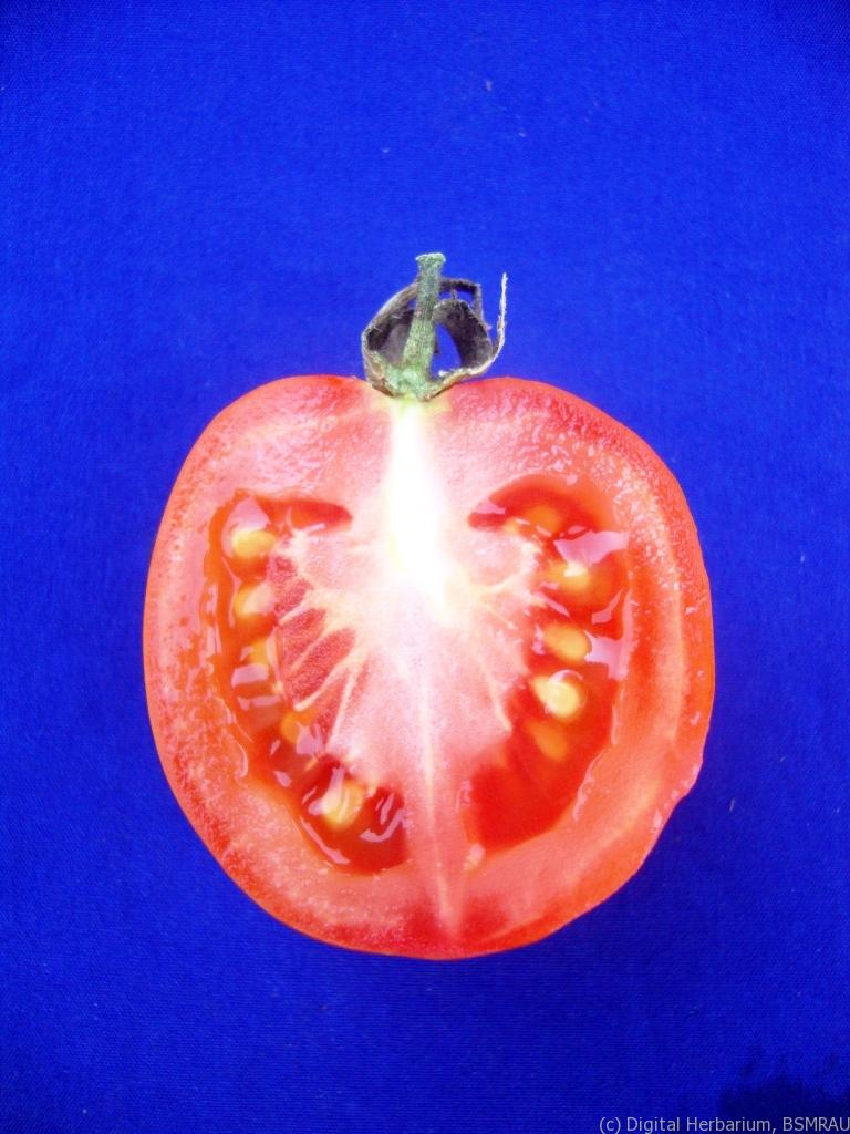 Tomato Digital Herbarium Of Crop Plants