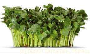 cress-plant