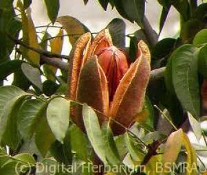 mehgoni-fruit
