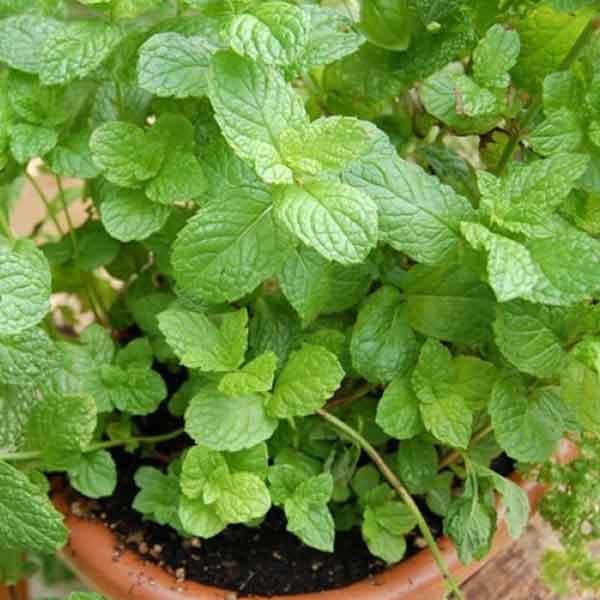 mint puthina plant