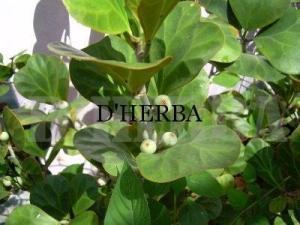 mas cotek, cantik herba