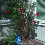 Favorite Rose Bush in Full Bloom Early