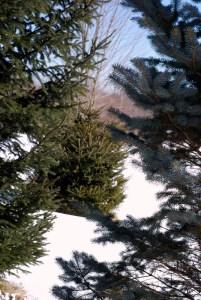 evergreens