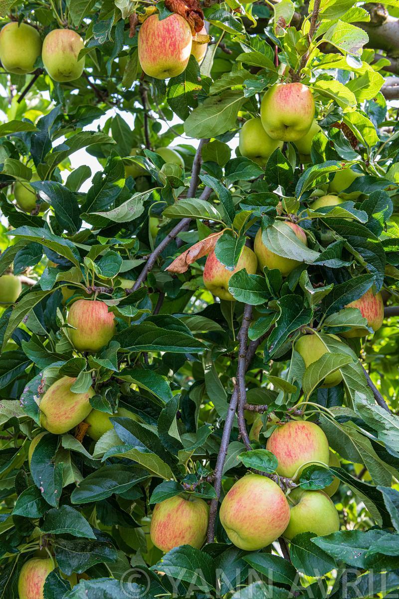 Yann Avril Photography Garden And Nature Pommes Delbar
