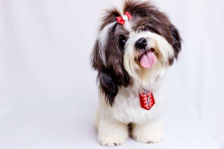 Mundo Pet: confira uma lista de raças de cães ideais para apartamento