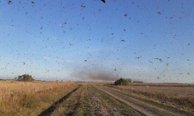 Nuvem de gafanhotos: Ministério da Agricultura declara emergência