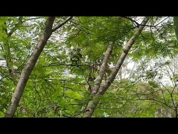 Papagaio ameaçado de extinção é solto na natureza em Vargem Alta