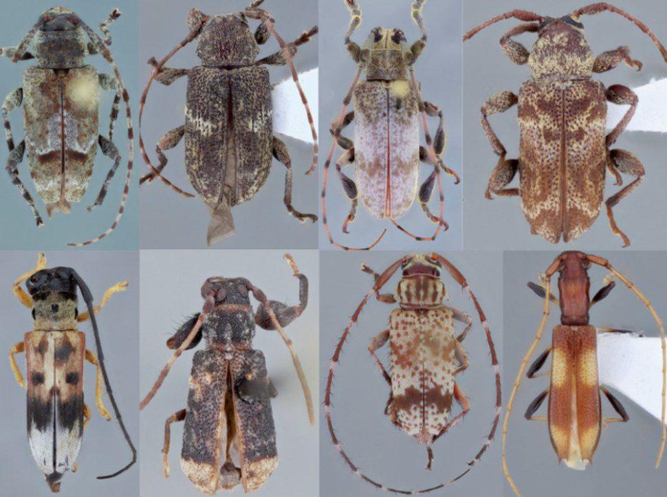 As oito novas espécies de besouros