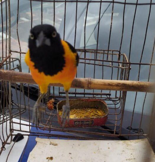 Polícia Ambiental apreende 7 pássaros silvestres mantidos em cativeiro