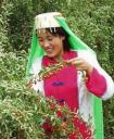 The women and girls harvest these extremely delicate berries in China. Photo:www.wolfberry.org