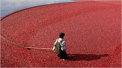thanksgiving-native-cranberries-mathieu-belanger-reuters-in-nyt